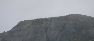 Geit i fjell 011